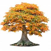 Yellow Maple Tree Acer Palmatum Tree Of Trident Maple In Autumn Shishigashira Maple Isolated White. poster
