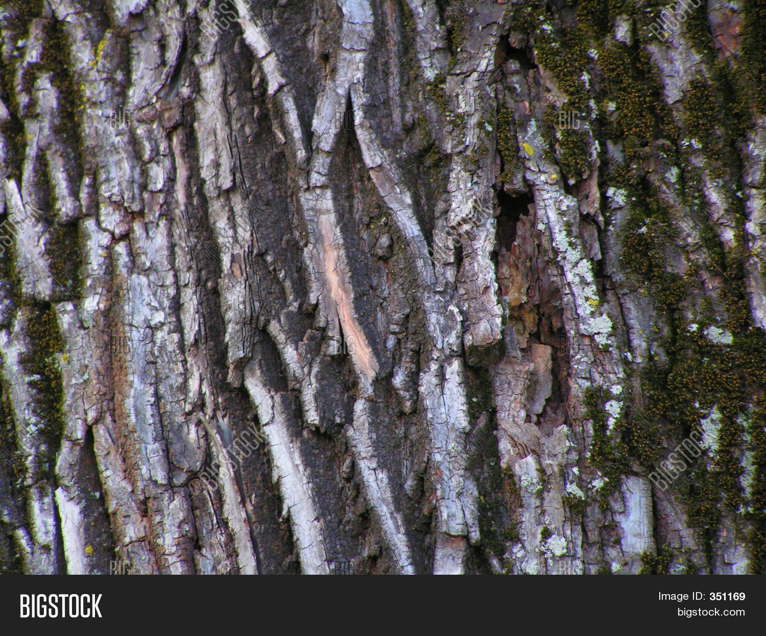 White walnut tree bark
