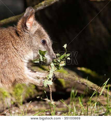 A Parma Wallaby Eating In A Dutch Zoo