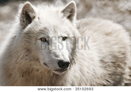 white arctic wolf close up