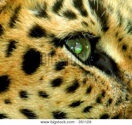 Leopard Macro Shot
