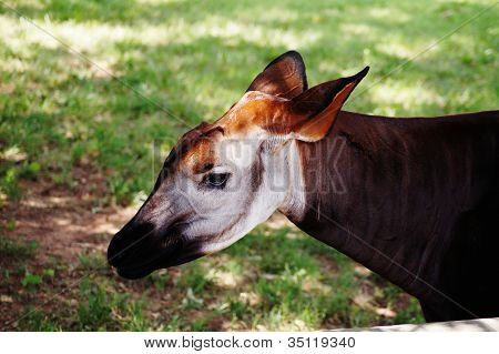 okapi is a giraffe family