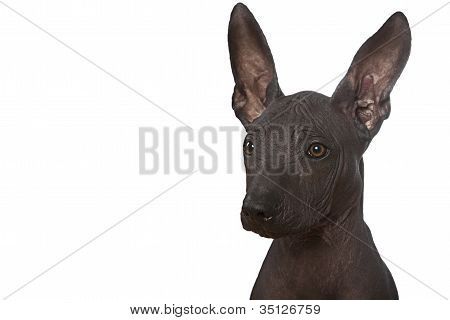 Portrait Of Xoloitzcuintle Puppy