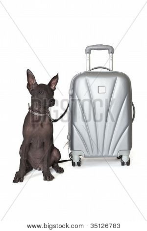 Mexican Xoloitzcuintle With The Suitcase