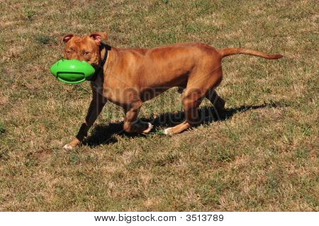 Pit Bull Playing