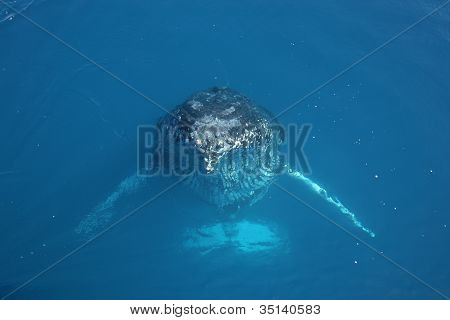 Whale humpack breaching