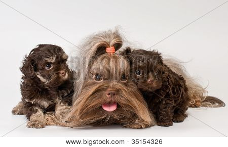 Lap dog with puppies
