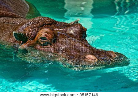 Hippo In The Pool