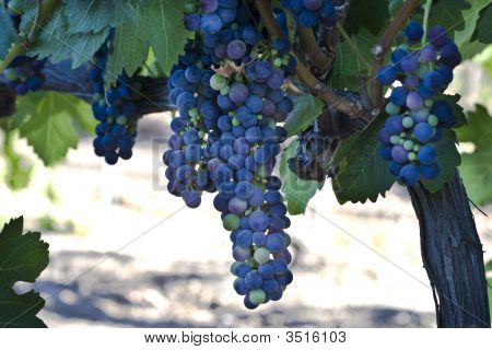Grape Clusters Hanging From Vine
