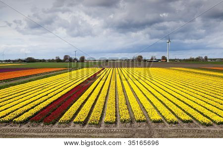Wide Angle View On Tulip Field