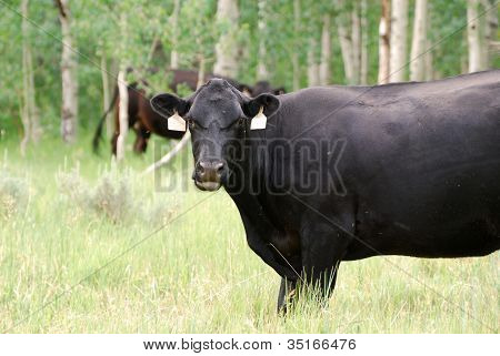 Black Cow Grazing