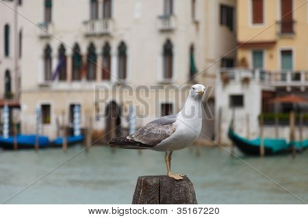 seagull in Venice on Canal Grande