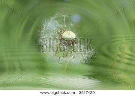 Dandelion Against Backdrop Water