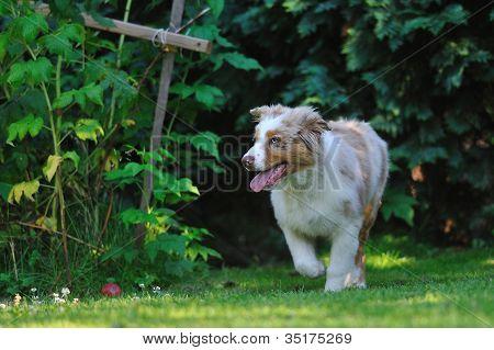 Australian Shepard In The Garden