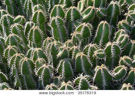 cactus - closeup