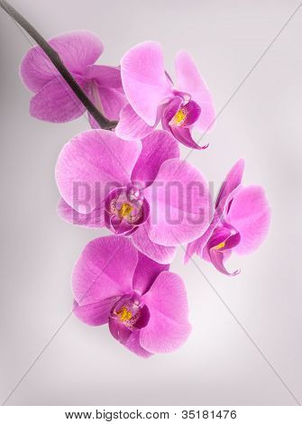Flowers of orchids