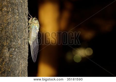 Tibicen pruinosus cicada on a tree