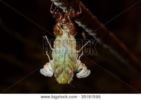 The last birth (molting Tibicen pruinosus cicada)
