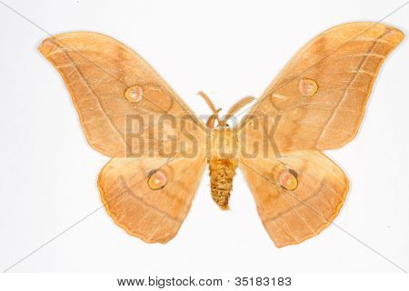 Japanese Oak Silkmoth Latin Name Antheraea Yamamai Isolated On White