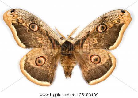 Great Peacock Moth Latin Name Saturnia Pyri Isolated On White