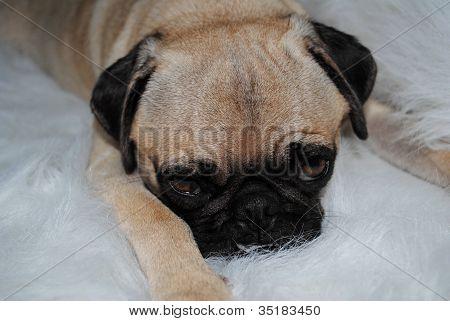 Resting Pug