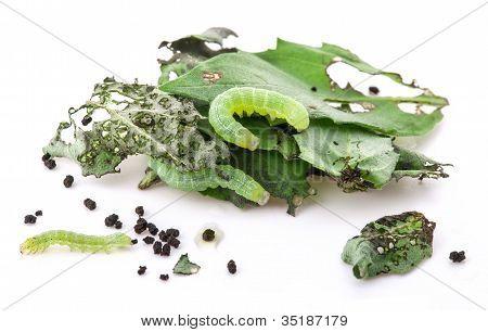 Green caterpillars