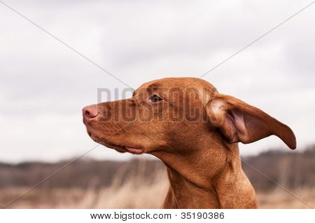 Vizsla Dog On A Windy Day