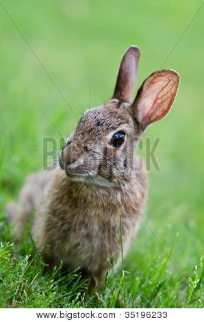 Curiuos looking cottontail bunny rabbit