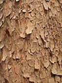 Maple Silver  Bark poster
