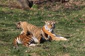 stock photo of tigress  - details of a tigress with her cub in captivity - JPG