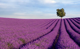 picture of lavender field  - Image shows a rich lavender field in Provence France with a lone tree in the background - JPG