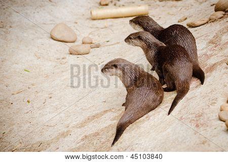 Grupo de lontras cute Asian pequena garra