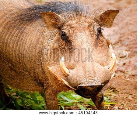 Portrait of warthog