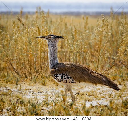Kori bustard walking through tall grass