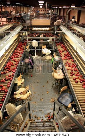 Apple Sorting Line