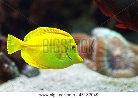 yellow zebrasoma