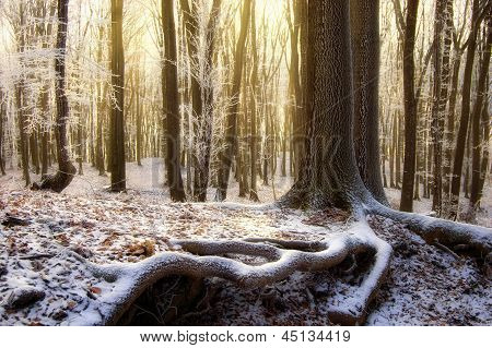 Sunrise in a forest in winter with tree with big roots