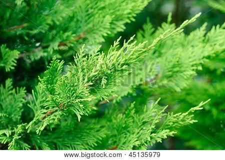 Branch Cupressocyparis  Leylandii  Green  Background