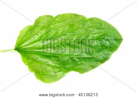 Leaves Of A Plantain With Drops On A White Background