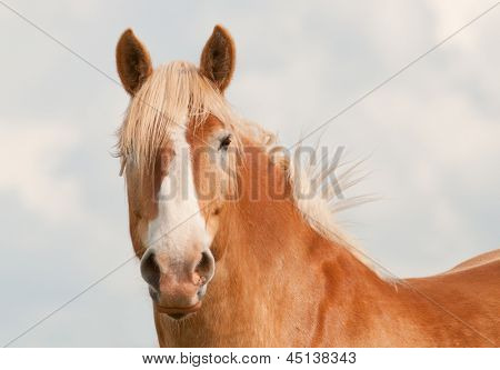 Handsome blond Belgian draft horse looking at the viewer with curiosity with his ears up; against cloudy sky