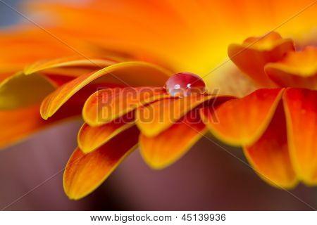 Macro do gotas de flor de laranjeira