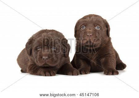 Two Chocolate Labrador Retriever Puppies