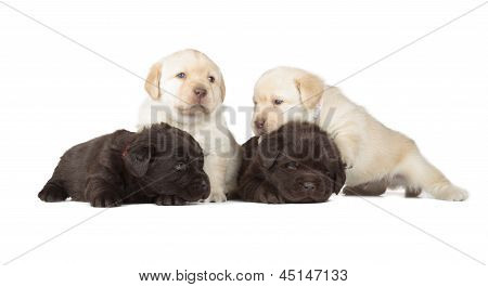 Five Labrador Retriever Puppies