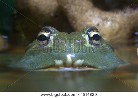Giant African Bull Frog.