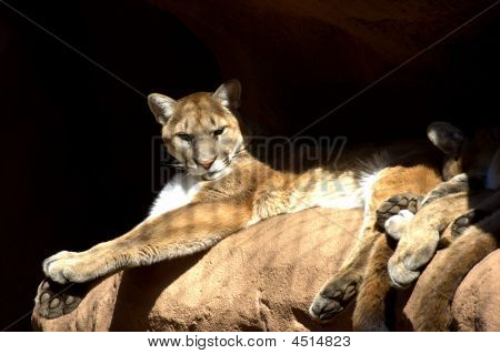 The Arizona Mountain Lion At Rest.