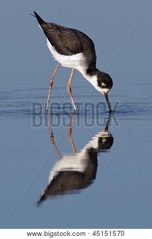 Black-necked Stilt Foraging.