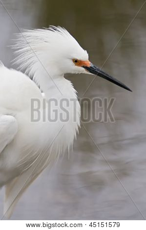Snowy Egret Displaying Plumage.
