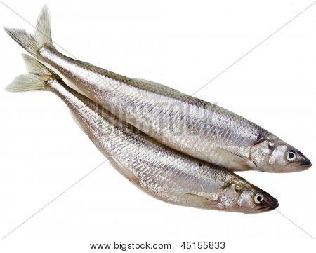 fresh smelts Baltic fish isolated on white background