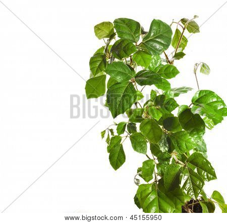 brunch of  liana cissus  isolated on white background