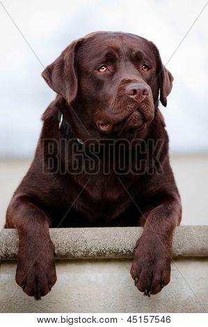 brown labrador retriever dog
